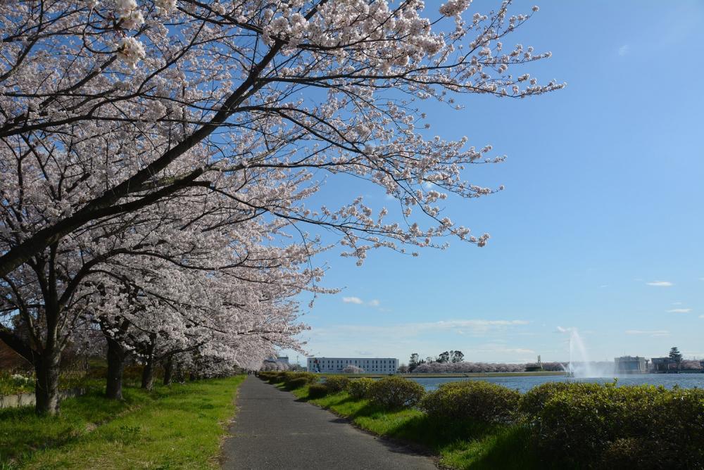 行幸湖桜並木の紹介