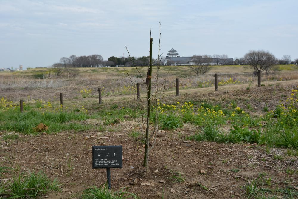 中の島公園のこぶし(令和3年3月に新たな苗木を植樹しました)の紹介