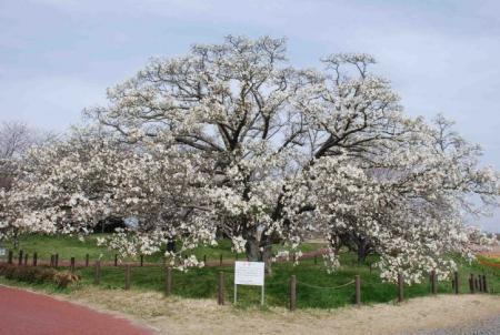 中の島公園のこぶし(2008年)