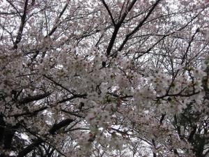 『4.5ソメイヨシノ』の画像