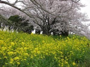 『菜の花と桜』の画像