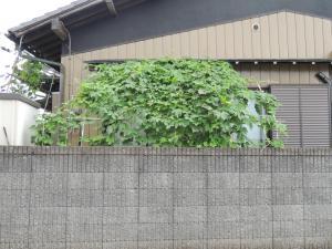 平野グリーンカーテン1