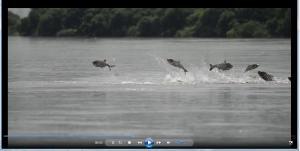『7月5日 ハクレンジャンプ動画(動画提供:小林一郎氏)』の画像