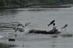 『7月10日 ハクレンのジャンプ(写真提供:小林一郎氏)』の画像